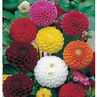 Flower Seeds : Long Lasting Flower Dahlia-Bambino Mixed Semi Indoor Suitable Garden Home Garden Seeds Eco Pack Plant Seeds By Creative Farmer