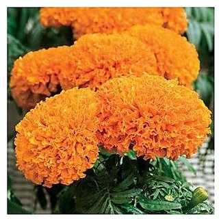 Flower Seeds : Marigold-Hawaii Orange Flower Seeds Plant Garden Home Garden Seeds Eco Pack Plant Seeds By Creative Farmer