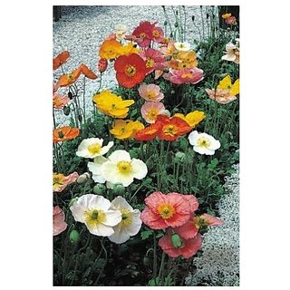 Flower Seeds : Common Poppy Seeds For Balcony Garden Home Garden Seeds Eco Pack Plant Seeds By Creative Farmer