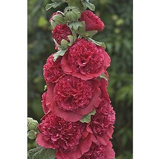 Flower Seeds : Hollyhocks Powderpuff Double Mixed Pack Garden Home Garden Seeds Eco Pack Plant Seeds By Creative Farmer