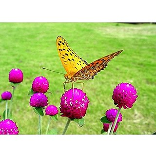 Flower Seeds : Gomphrena Long Lasting Cut Flower Butterfly Attracting Flower Seeds Hybrid Flower Seeds For Decoration Garden Home Garden Seeds Eco Pack Plant Seeds By Creative Farmer
