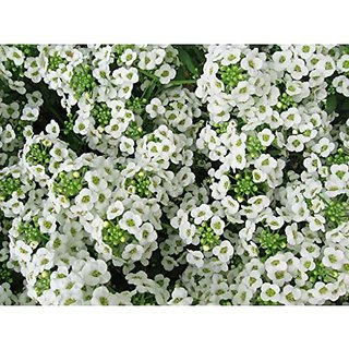 Flower Seeds : Alyssum Snow Cloth (White) Flower Seed Rarest Variety House Garden (15 Packets) Garden Plant Seeds By Creative Farmer