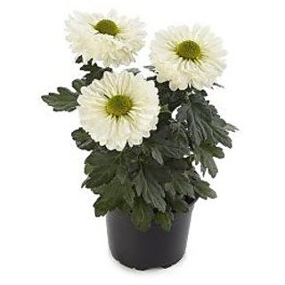 Flower Seeds : Javandi Chrysanthemum White Flower Seeds For All Season (17 Packets) Garden Plant Seeds By Creative Farmer