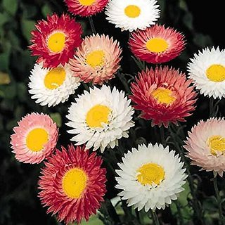 Flower Seeds : Licorice Plant Flower Garden Seeds Of Flowers Best Germination (16 Packets) Garden Plant Seeds By Creative Farmer