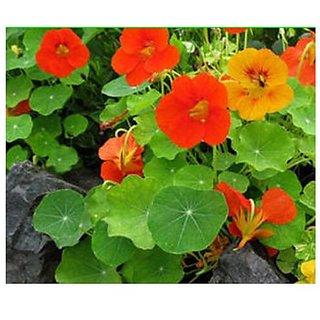 Flower Seeds : Nasturtiums Rare Seeds Home For Garden Pots Garden Home Garden Seeds Eco Pack Plant Seeds By Creative Farmer