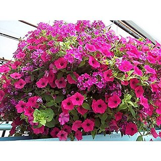 Flower Seeds : Petunia Basket Mixed Pink Mixed Seeds Kitchen Terrace Gardening Garden Home Garden Seeds Eco Pack Plant Seeds By Creative Farmer