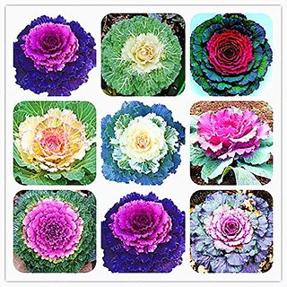 Flower Seeds : Ornamental Kale Lavender Mixed Flower Seeds For Pot Plants Seeds For Balcony Garden Home Garden Seeds Eco Pack Plant Seeds By Creative Farmer