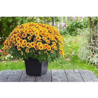Flower Seeds : Mums Yellow Home Garden Flower Seeds For Terrace/Balcony/Rooftop Gardening Plants (25 Packets) Garden Plant Seeds By Creative Farmer