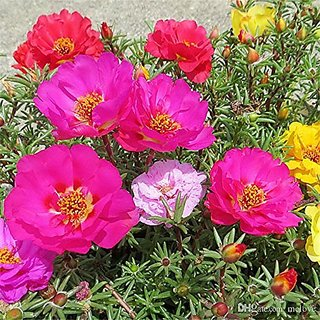 Flower Seeds : Portulaca Mixed Seeds Flower Seeds Of Winter Season Seeds For Balcony Garden Home Garden Seeds Eco Pack Plant Seeds By Creative Farmer