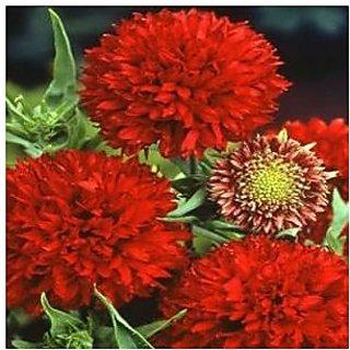 Flower Seeds : Gaillardia-Aristata Seeds Balcony Pot Flower Plant Seeds (14 Packets) Garden Plant Seeds By Creative Farmer
