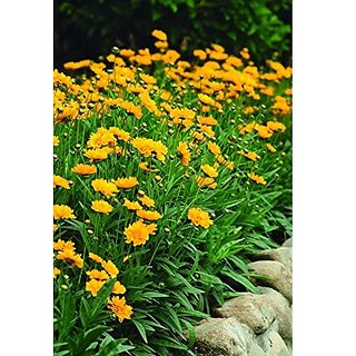 Flower Seeds : Coreopsis Crassifolia For Hedge Flower Seeds Hybrid Flower Seeds For Boundary (20 Packets) Garden Plant Seeds By Creative Farmer