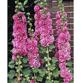 Flower Seeds : Hollyhock Seeds Hybrid For Poly Growbag Garden Home Garden Seeds Eco Pack Plant Seeds By Creative Farmer