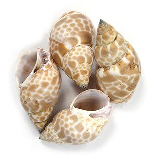 Sea Shells  - Caneellaria Retiulata
