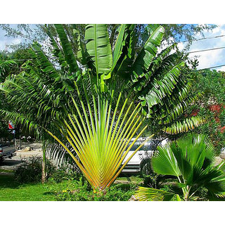 Futaba Ravenala madagascariensis Travelers Palm seeds - 10 Pcs