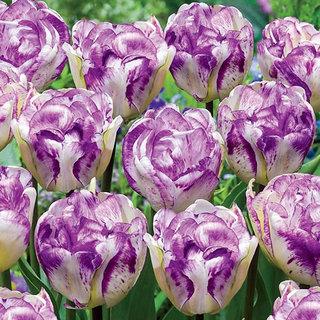 Futaba Fragrance Tulips seeds - Purple and White - 100 Pcs