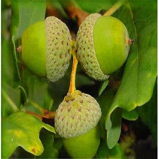 Futaba Quercus Alba Shade Acorn Seeds - 10 Pcs