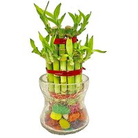 Sheel Greens Lucky Bamboo 2 Layer With Long Glass Pot