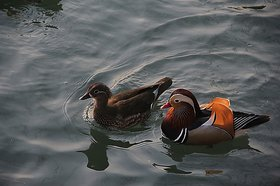 Wonderland Floating (Pair of two) Mandarin Ducks, floaters for water body, pond, swimming pool, dcor, garden dcor, home decoration, gift, luck, wealth, health, gifting