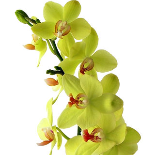 Futaba Green Butterfly Orchid Phalaenopsis Seeds - 100 Pcs