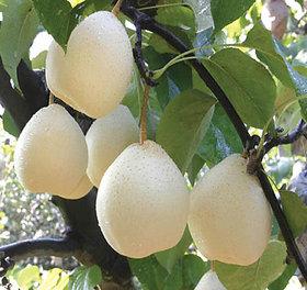 Futaba Chinese White Sand Pear Fruit Seeds - 5 Pcs