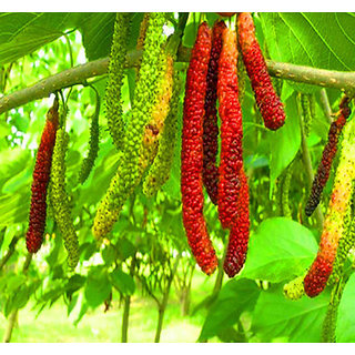 Futaba Long Mulberry Fruit Seeds - 50 Pcs