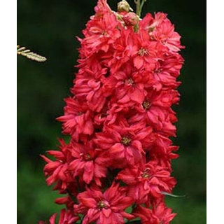 Futaba Delphinium Cultorum seeds - Red - 100 Pcs