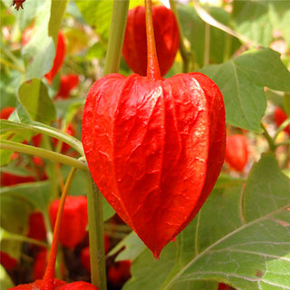 Futaba Ground cherry Tree Seeds - Red - 50 Seeds