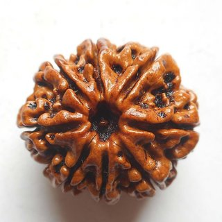 only4you ORIGINAL 8 Mukhi Rudraksha Nepal  IGL Certified 23.34mm Eight Face Rudraksh