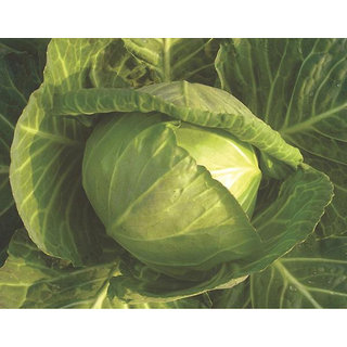 Cabbage Seeds, Golden Acre Cabbage Vegetable Seeds Pack of 50 Band Gobhi Seeds by AllThatGrows