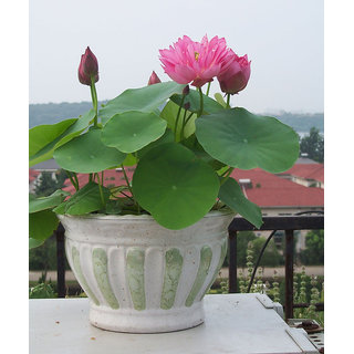 Aquatic plants flower seed bowl lotus, Pink Water Lilies lotus seeds, 10 pcs
