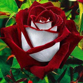 20x Red White Osiria Ruby Rose Flower Rare Seeds Flower Home Garden Decor