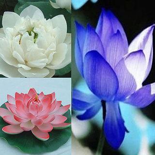 Buy 10pcs 3color mix bowl lotus flower seeds water aquatic fragrance 10pcs 3color mix bowl lotus flower seeds water aquatic fragrance plants nelumbo mightylinksfo