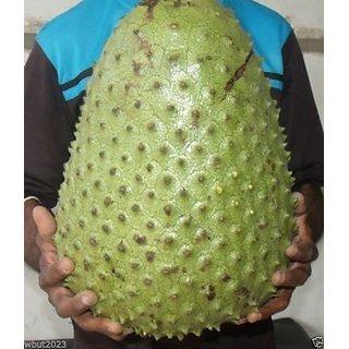 10 SOURSOP Seed, Annona muricata a.k.a. Guanabana, Graviola Freshly Harvest.