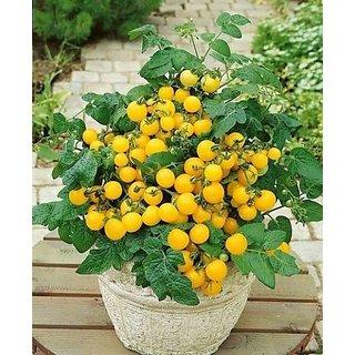 Tomato Vegetable seeds Balkonnoe Miracle Golden from Ukraine early 30 Seeds