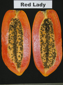 Red Lady Papaya10 Seeds, Fruits Seeds, Very Sweet Flesh, From Thailand