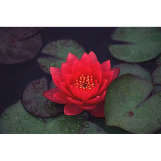 10Pcs Mix Lotus Nymphaea Asian Water Lily Pad Flower Pond Seeds potted flowers