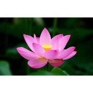 ChoosePick Lotus Pink Seeds  (55 Seeds Per Packet)