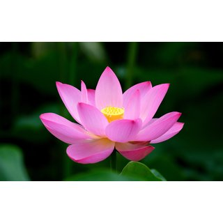ChoosePick Lotus Pink Seeds  (6500 Seeds Per Packet)