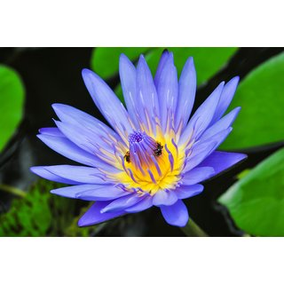 ChoosePick Lotus Blue Seeds  (22000 Seeds Per Packet)