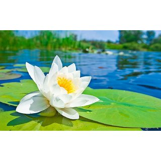 ChoosePick Lotus White Seeds  (120000 Seeds Per Packet)