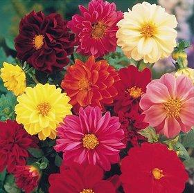 Dahlia Unwin Dwarf Flower Seeds, Flower Plant Seeds For Home Garden 50 Seeds by AllThatGrows