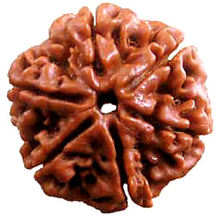 Future Point 6 mukhi/ Six face Rudraksha