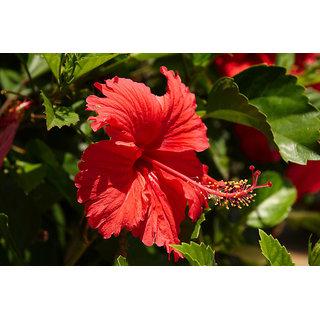 Natural Hibiscus ( Hibiscus rosa-sinensis ) Powder 100 g