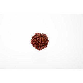 KESAR ZEMS KZ presenta 100 Original - Natural Panch Mukhi - Five Face Rudraksha Bead