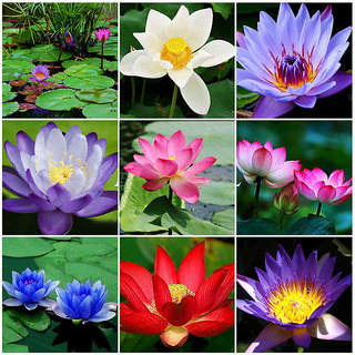 Buy rare beautiful lotus flower seeds aquatic plants bowl lotus rare beautiful lotus flower seeds aquatic plants bowl lotus mightylinksfo