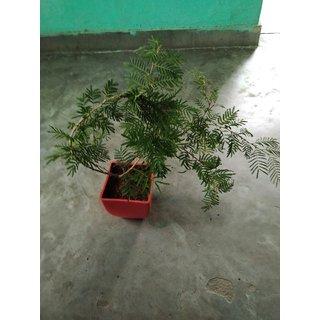 shammi religius plant