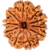 Original Very rare  Nepal 10 Mukhi ( Ten Face rudraksh ) Rudraksha Lab Certified