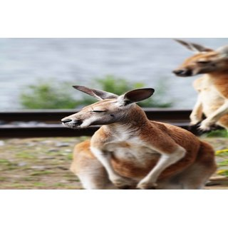 Avikalp Exclusive Premium kangaroo HD Poster AZOHP162