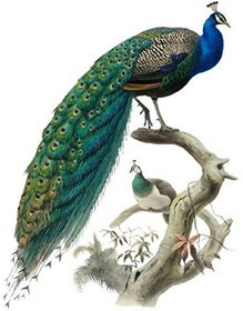 Wall Whispers Nature Multicolor PVC Peacock in right side Sticker Set 1