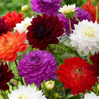 Dahlia Flower High Germination Seeds